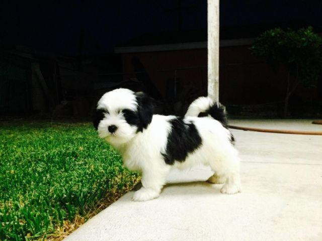 Runt Of Litter Shih Tzu Puppy For Sale In Los Angeles California