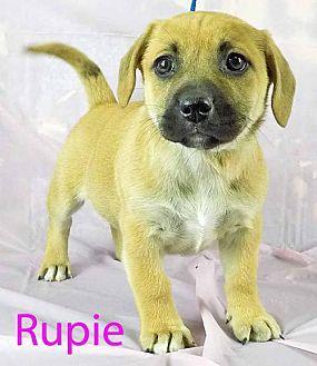 Rupie Dachshund Puppy Female