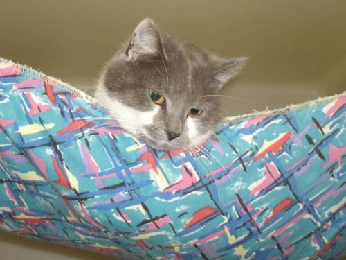 Russian Blue 32497 Megan Medium Adult Female Cat For Sale In Sonora Ohio Classified