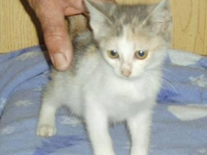 Russian Blue Annie O Small Adult Female Cat For Sale In Cincinnati Ohio Classified