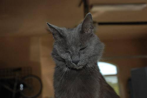Russian Blue - Brax - Extra Large - Baby - Male - Cat