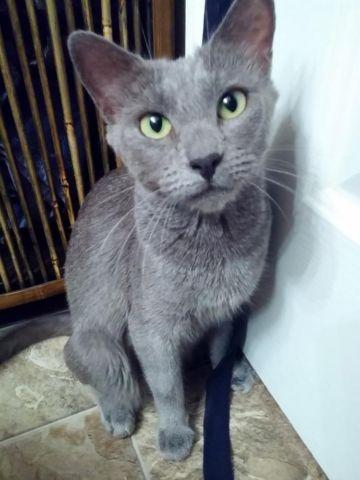 Russian Blue cat and her amazing kittens! for Sale in ...