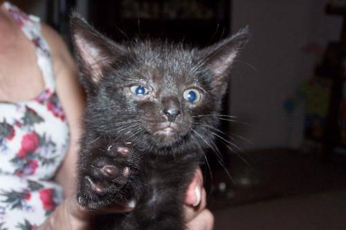 Russian Blue Jamie Small Baby Female Cat For Sale In Xenia Ohio Classified
