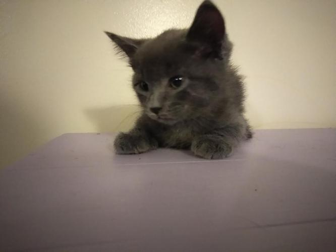 Blue Kittens For Sale : Russian blue kittens for sale in saint paul minnesota classified