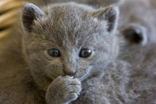 russian blue kittens for Sale in Orlando, Florida ...