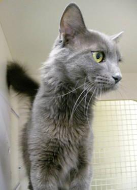 Russian Blue - Lara - Medium - Adult - Female - Cat