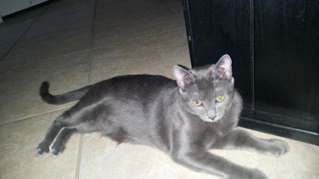 Russian Blue Mix 7 Mo Kitten For Sale In Saint Cloud
