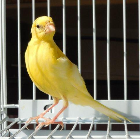 canary for one