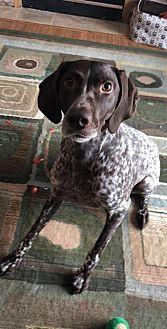 Rylie German Shorthaired Pointer Adult Female