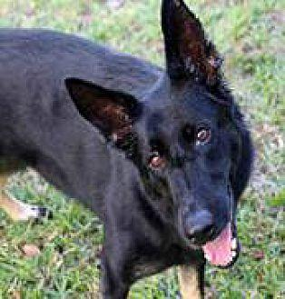 S.O.S FOR A BEAUTY German Shepherd Dog Adult Female