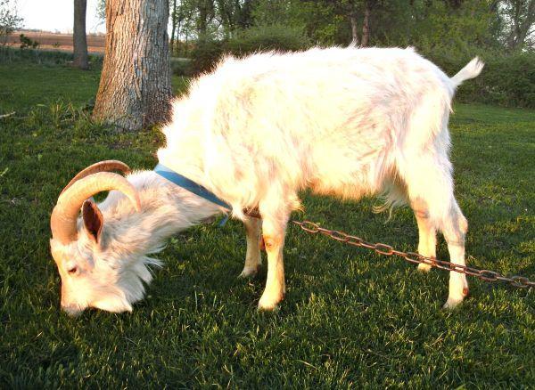 Saanen Buck Goat - $225 (SW  MN )