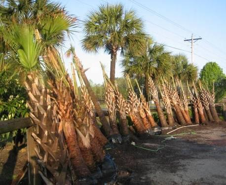 Sabal Palmetto Palm Trees