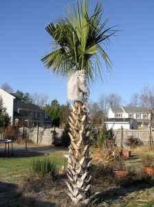 **SABAL PALMETTO PALMS**