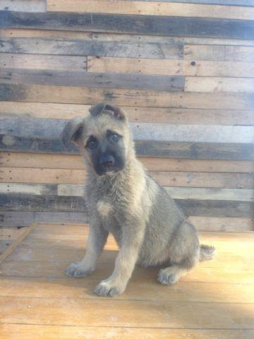 SABLE GERMAN SHEPHERD PUPPY -MALE!!! for Sale in San Diego, California ...
