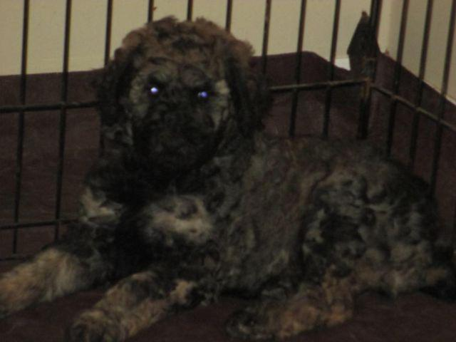 Sable Phantom Akc Standard Poodle Puppy Available For Sale