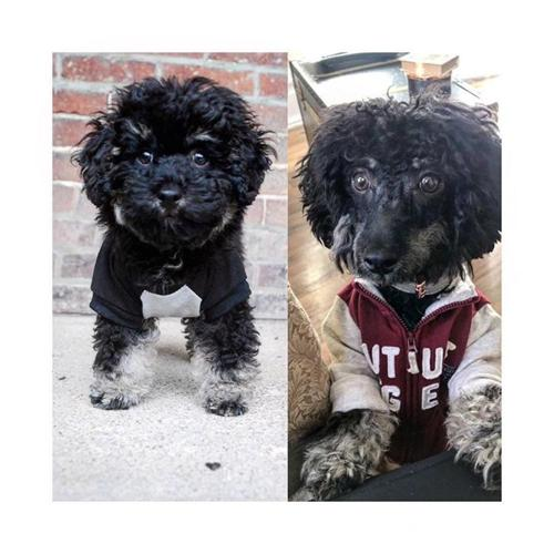 Sable Phantom Toy Poodle Neo Now Open For Stud For Sale