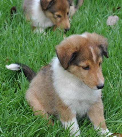 Sheltie Poodle Pets And Animals For Sale In The Usa Puppy And