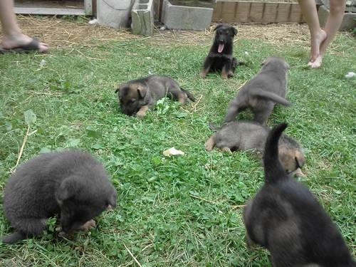Sable/Silver German Shepherd puppy