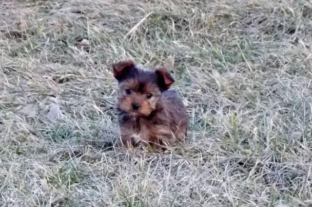 yorkshire terrier for sale mn sable yorkie female yorkshire terrier for sale in 3146