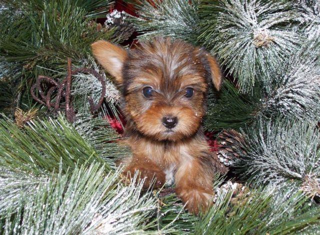 yorkie puppies for sale in mn sable yorkie yorkshire terrier puppies for sale in 7619