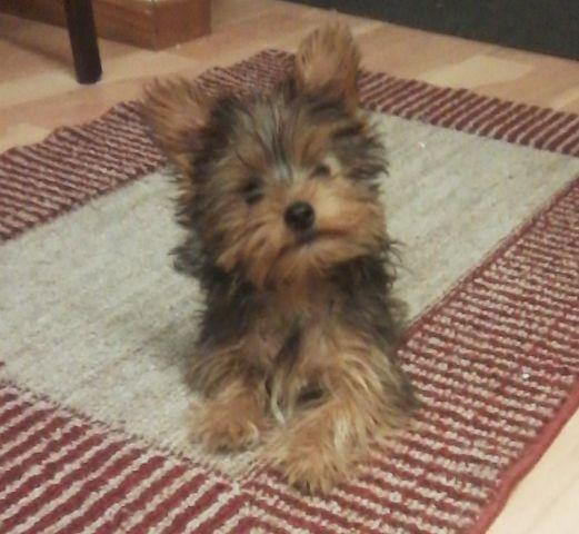 yorkshire terrier for sale mn sable yorkshire terrier yorkie boy for sale in 1384