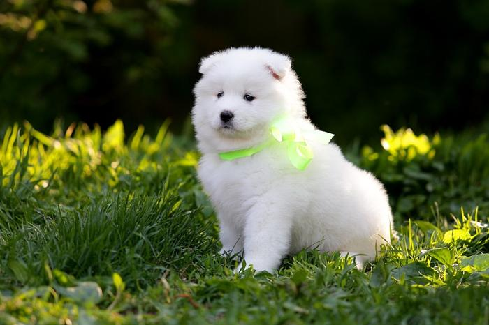 Sadie Female Samoyed Puppy for Sale