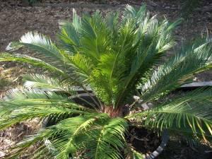 sago palm orangevale for sale in sacramento california classified. Black Bedroom Furniture Sets. Home Design Ideas