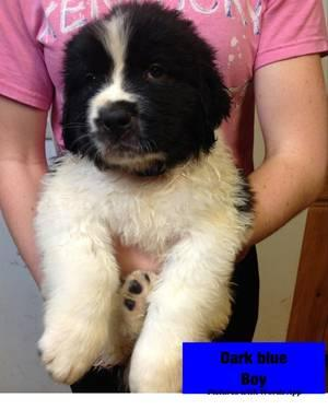 Saint Bernard Newfoundland Mix Puppies
