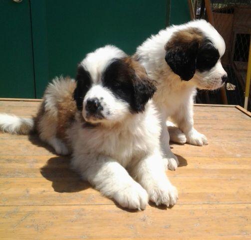 Saint Bernard Puppies For Sale In San Diego California