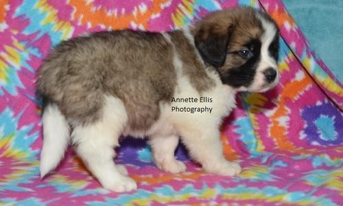 Saint Bernard Puppy for Sale - Adoption, Rescue for Sale in