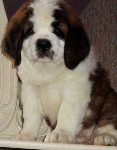 Saint Bernard Puppy for Sale - Adoption, Rescue