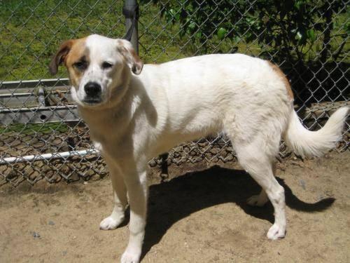 Need A Car Sudbury >> Saint Bernard St. Bernard - Alice - Large - Young - Female - Dog for Sale in North Sudbury ...