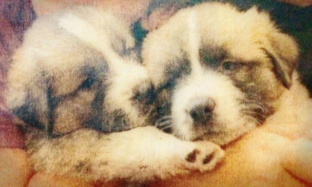 Saint Pyrenees Puppies (1/2 Saint Bernard X 1/2 Great ...
