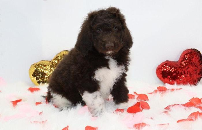 Poodle Pets And Animals For Sale In Arvada Colorado Puppy