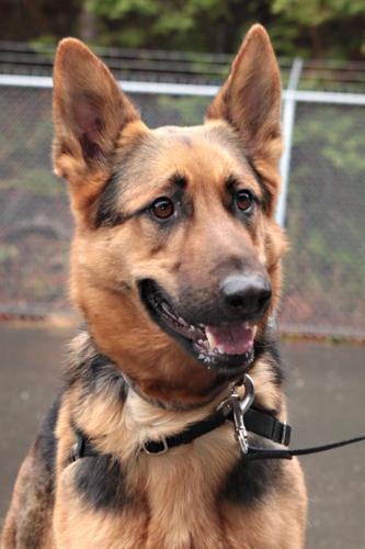 Dog For Sale Rescue Bellingham Wa
