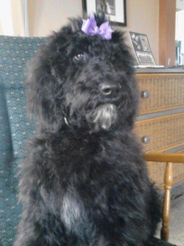 Sale or trade Female F1B Goldendoodle for Male Miniature Labradoodle