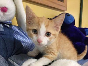 Salmon (FC=cp) Domestic Shorthair Young Male