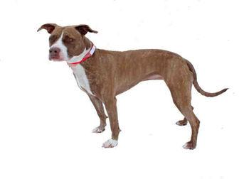 SAMANTHA American Pit Bull Terrier Adult Female