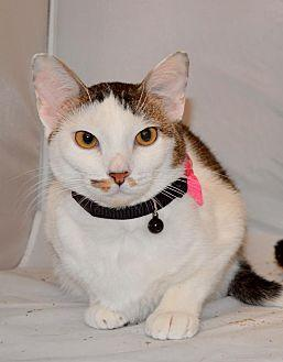 Samantha Domestic Shorthair Young Female
