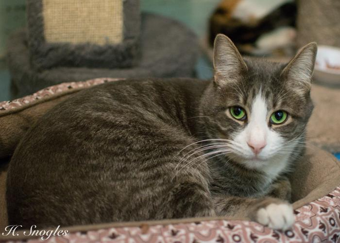 Sammy Domestic Short Hair Adult - Adoption, Rescue