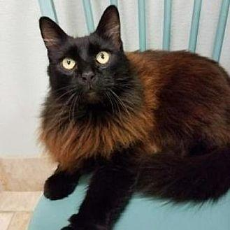 Sammy High 5 Domestic Longhair Adult Male