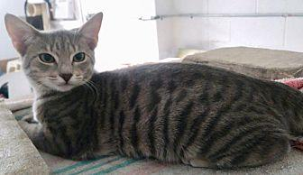 Sammy Love and tender... American Shorthair Young Male