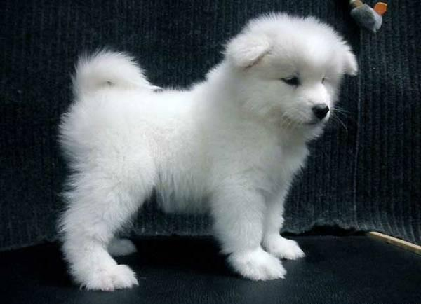 Samoyed For Sale >> Teacup Yorkie Puppies For Sale In Lake Charles Louisiana