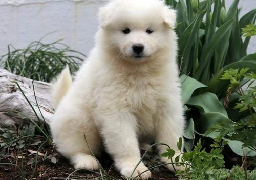 Samoyed Puppy for Sale - Adoption, Rescue