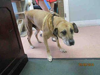 SAMSON Black Mouth Cur Adult Male