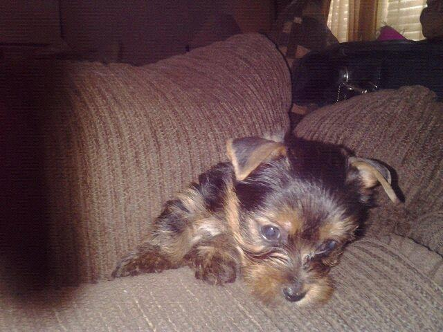 Teacup Puppies Yorkies For Sale In San Antonio Texas Classifieds