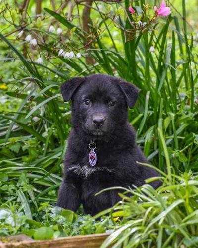 Sauki Flat-Coated Retriever Baby - Adoption, Rescue for Sale
