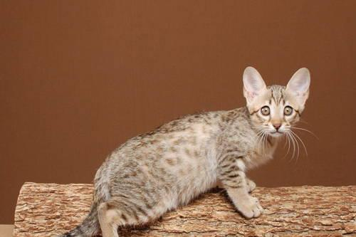 Savannah Cat needs loving accepting home