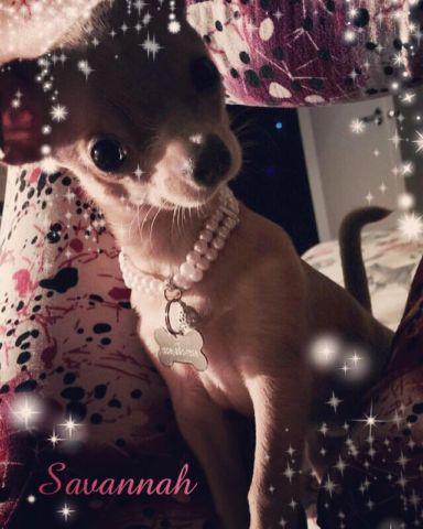*Savannah the small Chihuahua!*