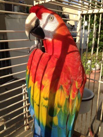 Scarlet macaw (sale or trade)